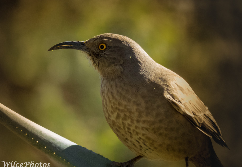 Curve-billed Thrasher on Agave