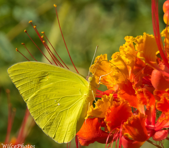 Cloudless Sulphur Butterfly On Red Bird Of Paradise