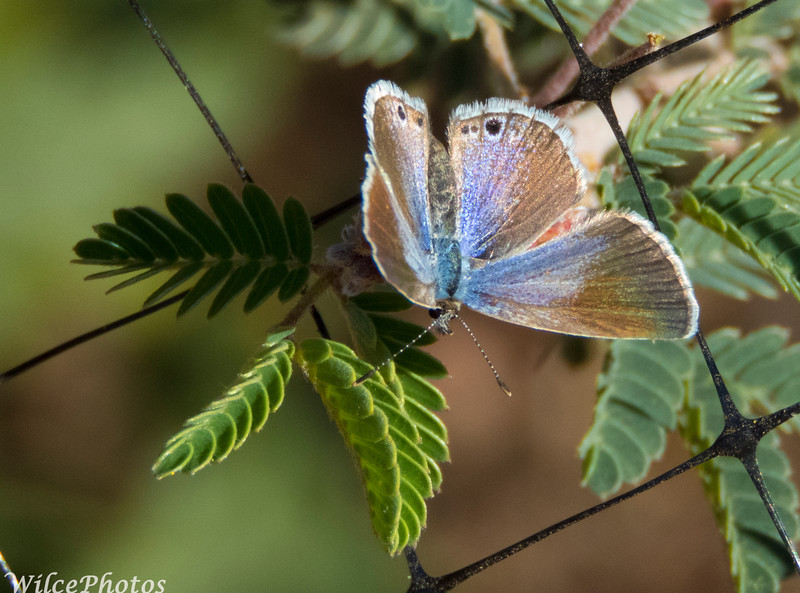 Hairstreak?
