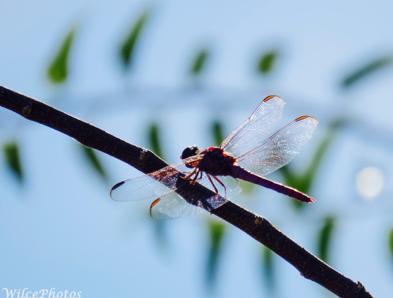 Dragonfly In Locust Tree