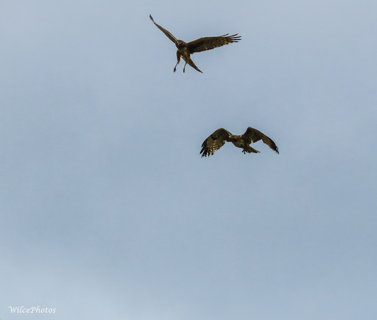 Raptors Fighting