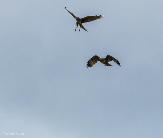 Raptors Fighting