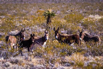Wild Burros in the Nevada Desert