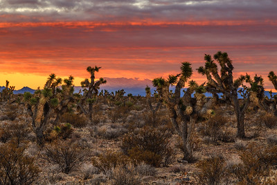 Joshua Tree Forest Sunrise