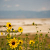 Sunflowers on Antelope Island