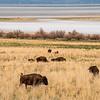 Herd of Bison Grazing on Antelope Island