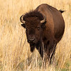 Male Bison in Tawny Grass on Antelope Island