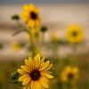 Closeup of Sunflower on Antelope Island