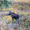 Young Moose Calf Feeding with Mother