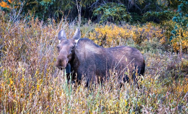 Mother Moose Feeding in a Wetland