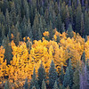 Aspen Spot Fire in the Forest