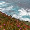 Spring Iceplant Bloom in Big Sur