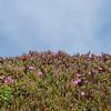 Close up of Ice Plants on Big Sur Coastline