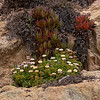 Seaside Daisies and Succulents on Big Sur Coast