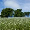 White Foam of the Meadow