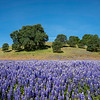 Field of Wild Purple Lupine in the Western Sierra Foothills