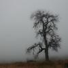 Grandfather Oak Tree