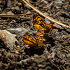 Butterflies Finding Moisture on the Rocky Beach