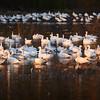 Snow Geese at Grey Lodge Wildlife Refuge
