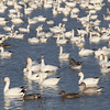 Snow Geese and Ducks on Pond at Grey Lodge Wildlife Refuge