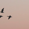 Winged Migration at Sunset