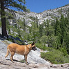 Belgian Malinois in the Sierra Nevada Below Horsetail Falls
