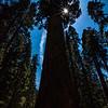 Sun Kissed Sequoia