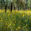 Foothills Meadow of Common Madia Wildflowers
