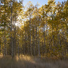 Aspen Grove and Tawny Grass