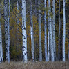 White Aspens and Fall Color
