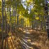 A Walk Among the Aspens at Fallen Leaf Lake