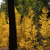 The Forest is on Fire with Aspens