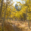 Autumn Walk Through the Aspens