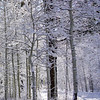 Snow Covered Aspens at Fallen Leaf Lake