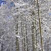 Snow Covered Aspens in Sunlight