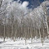 Winter Aspen Grove
