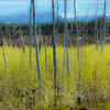 Spring Aspens Emerging from Fire Scarred Landscape