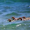 Merganser Chicks on Fallen Leaf Lake