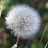 Yarrow Seeds Ready to Fly