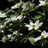 Spring Dogwoods Blooming in Yosemite Valley