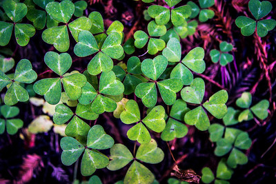 Redwood sorrel in Limekiln State Park, Big Sur, November 2016.