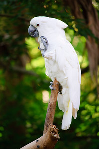 White cockatoo St. Augustine Alligator Farm in St. Augustine, Florida in June 2010.