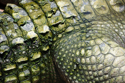 Close up of alligator hind leg St. Augustine Alligator Farm in St. Augustine, Florida in June 2010.