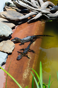 Baby alligators in St. Augustine Alligator Farm in St. Augustine, Florida in June 2010.