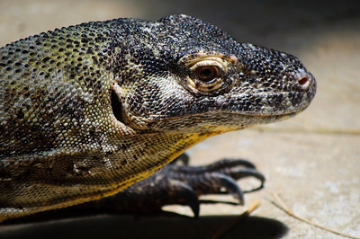 Monitor lizard at St. Augustine Alligator Farm in St. Augustine, Florida in June 2010.