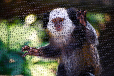 Monkey at St. Augustine Alligator Farm in St. Augustine, Florida in June 2010.