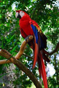 Macaw at St. Augustine Alligator Farm in St. Augustine, Florida in June 2010.
