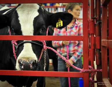 Coordinating Cattle ©Debra Fisher Goldstein-2271