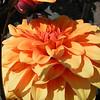 Deze latijns amerikaanse plant (Mexico) kent zijn bekendheid dankij de verdikte wortels die als voeding dienden. De knollen werden onder andere door de Tunebo-Indianen opgegraven en opgegeten. Notabene: de smaak van de knollen schijnt niet lekker te zijn.