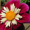 """Dahlia """"Halskraag"""" Deze groep heeft een enkele rij van 8 grote kroonbladen, meestal plat en met ronde punten. Daarna een ring van kleinere gegolfde buisbloempjes, vaak in contrastkleur rond het gewone gele hart.<br />  <br /> De dahlia is vernoemd naar de Zweedse 18de-eeuwse botanicus Anders Dahl. <br /> (17 maart 1751 - 25 mei 1789)"""